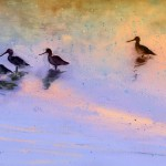 La Camargue – Oiseaux 02