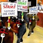Taureaux en grève